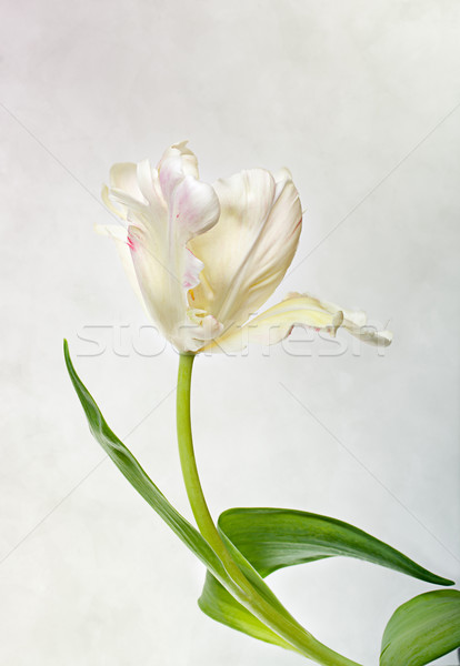 Pastel Tulip Stock photo © nailiaschwarz