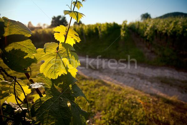 Szőlőskert délnyugat Németország nyár farm növény Stock fotó © nailiaschwarz