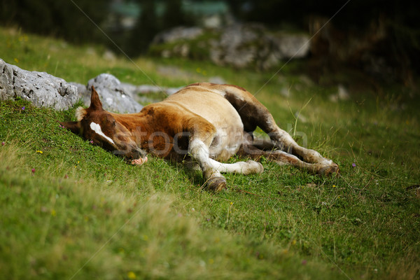 Foal on Alpine Pasture Stock photo © nailiaschwarz
