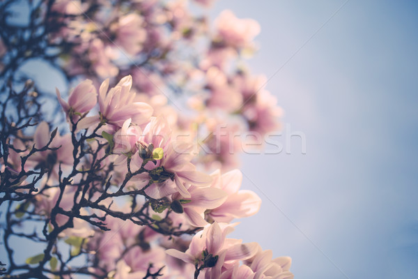 Magnolia Flowers Stock photo © nailiaschwarz