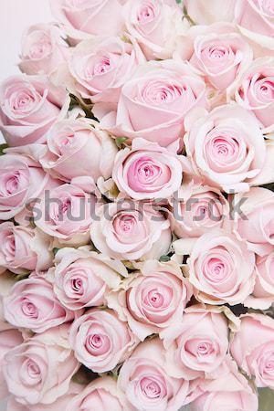Rosa rose primo piano molti pastello colorato Foto d'archivio © nailiaschwarz