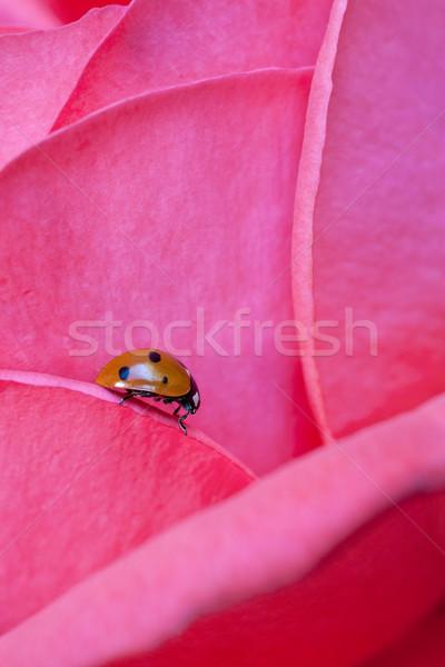 Ladybug on Rose Stock photo © nailiaschwarz