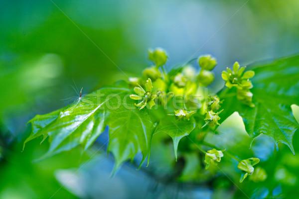 Maple Leaves Stock photo © nailiaschwarz
