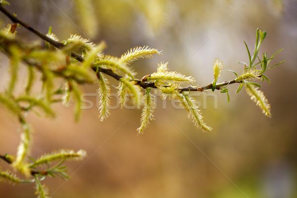 Feathery catkins on a branch Stock photo © nailiaschwarz