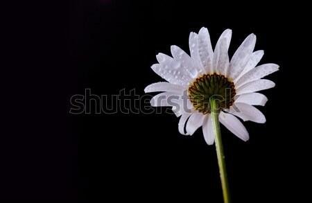 Százszorszép virágok fekete stúdiófelvétel víz tavasz Stock fotó © nailiaschwarz