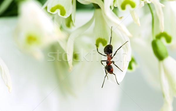 Ant on Snowdrop Flowers Stock photo © nailiaschwarz