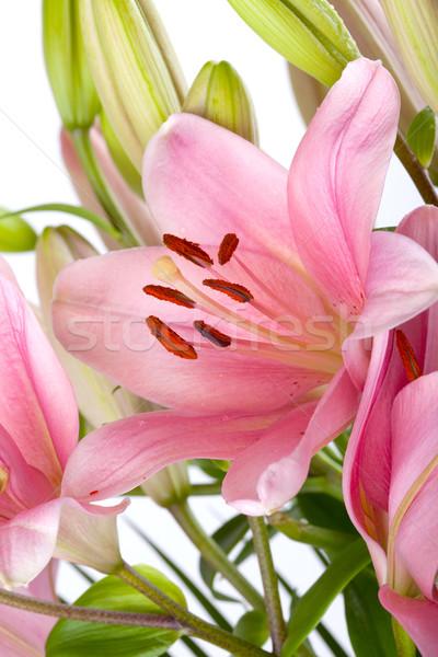 ピンク ユリ 露 値下がり 孤立した 白 ストックフォト © nailiaschwarz