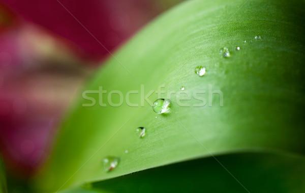 Dew Drops Stock photo © nailiaschwarz