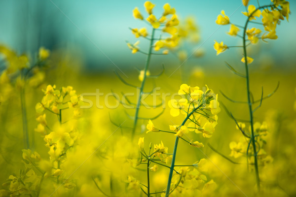 Rape Field on a Summer Evening Stock photo © nailiaschwarz