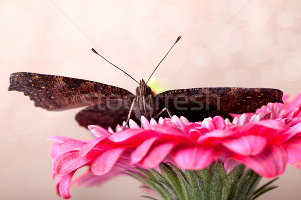 европейский павлин бабочка сидят розовый цветок Сток-фото © nailiaschwarz