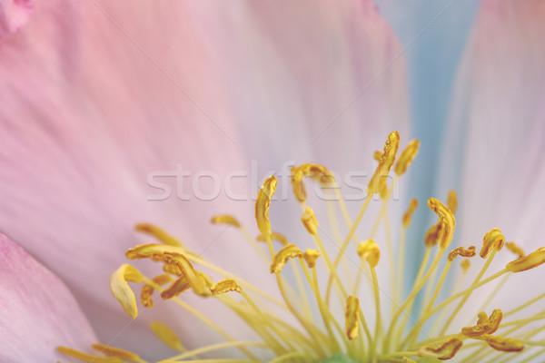 花 マクロ ショット 美しい パステル ストックフォト © nailiaschwarz