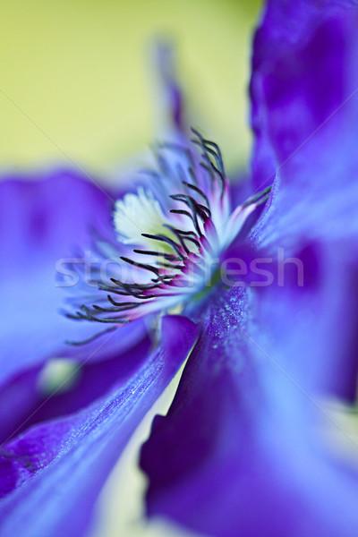 Blue Clematis Stock photo © nailiaschwarz
