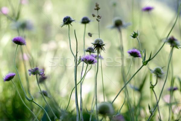 Alpine çayır otlar bitkiler yaz çim Stok fotoğraf © nailiaschwarz