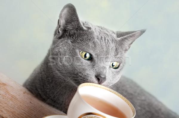 Foto stock: Russo · azul · gato · estúdio · retrato · olhos