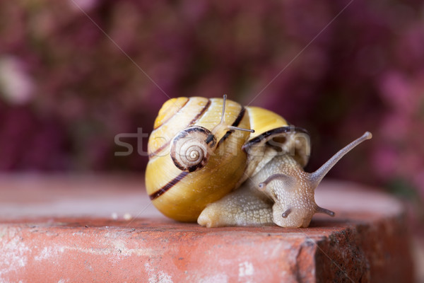 クローズアップ 黄色 黒 カタツムリ ストックフォト © nailiaschwarz