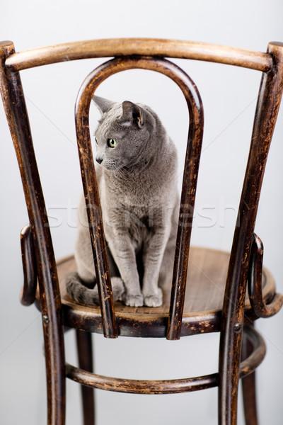 ロシア 青 猫 肖像 スタジオ エレガントな ストックフォト © nailiaschwarz