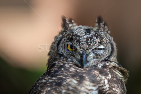 Funny Young Owl Stock photo © nailiaschwarz