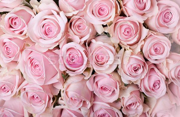 Pembe güller çok pastel renkli Stok fotoğraf © nailiaschwarz