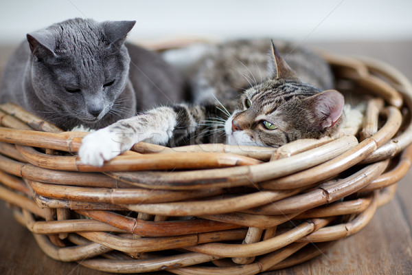 Two Cats in Basket Stock photo © nailiaschwarz