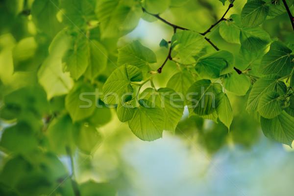 Taze yeşil yaprakları bahar ağaç yeşil Stok fotoğraf © nailiaschwarz