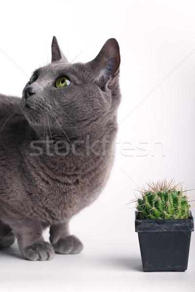 Inquisitive cat inspecting a spiny cactus Stock photo © nailiaschwarz