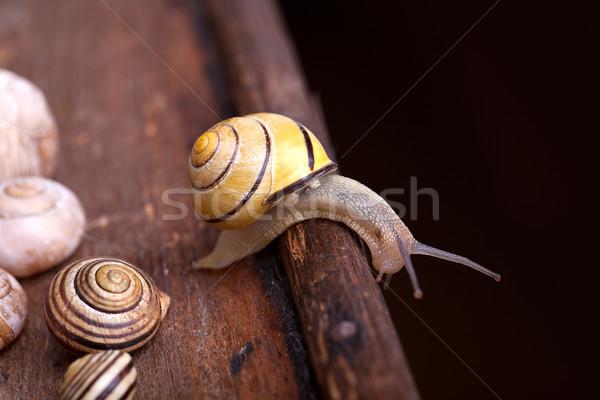 Small Snail Stock photo © nailiaschwarz