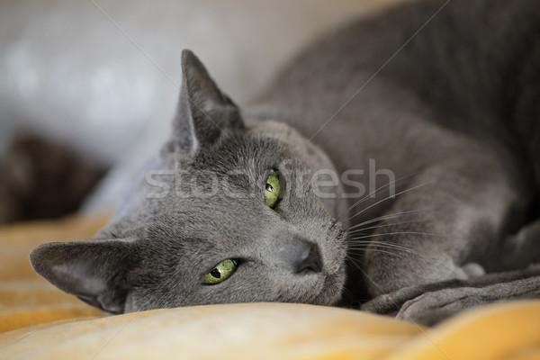 álmos macska portré fajtiszta kék alszik Stock fotó © nailiaschwarz