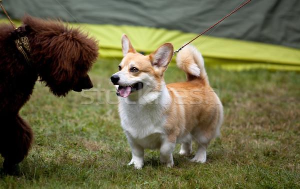 Portre sevimli köpek yüz beyaz kahverengi Stok fotoğraf © nailiaschwarz
