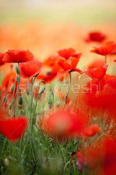 Vermelho milho papoula flores campo céu Foto stock © nailiaschwarz