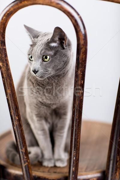 русский синий кошки портрет студию элегантный Сток-фото © nailiaschwarz