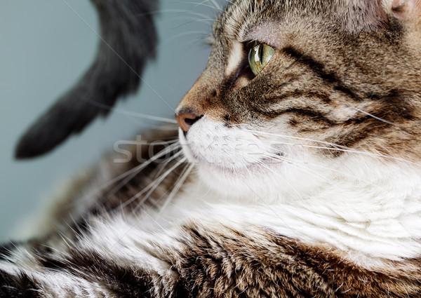 Casa gato retrato três Foto stock © nailiaschwarz