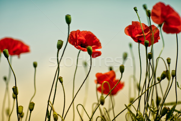Poppy Meadow Stock photo © nailiaschwarz