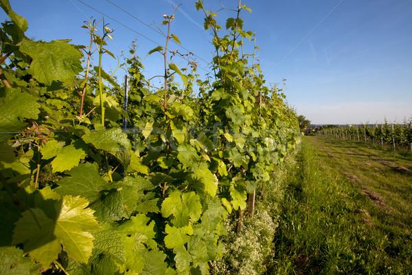 Bağ güneybatı Almanya yaz çiftlik bitki Stok fotoğraf © nailiaschwarz