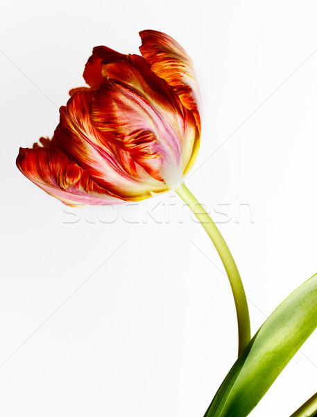 Red Tulip Stock photo © nailiaschwarz