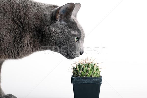 Chat cactus gris pot à fleurs isolé Photo stock © nailiaschwarz