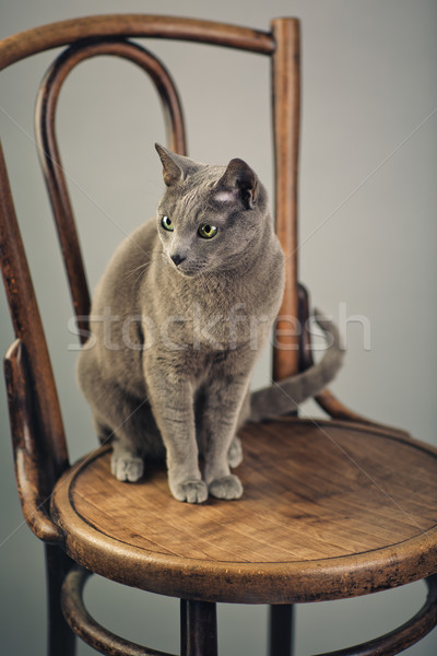 Russian Blue Cat Portrait Stock photo © nailiaschwarz