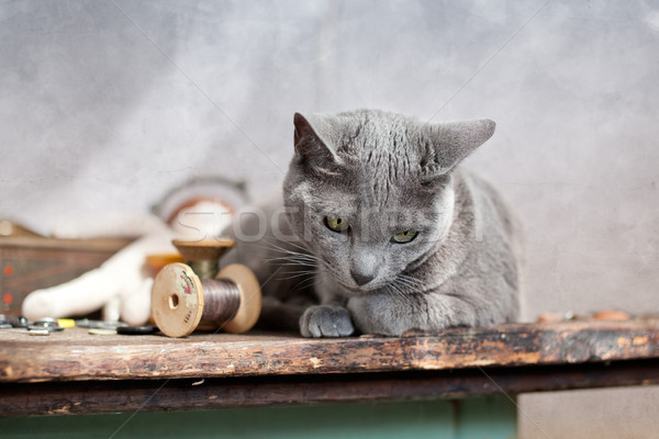 Cat on Table Stock photo © nailiaschwarz