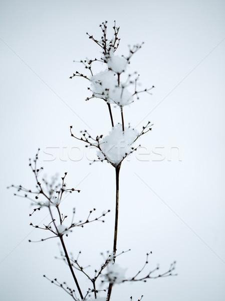 冬 詳細 ショット 壊れやすい 小枝 ストックフォト © nailiaschwarz