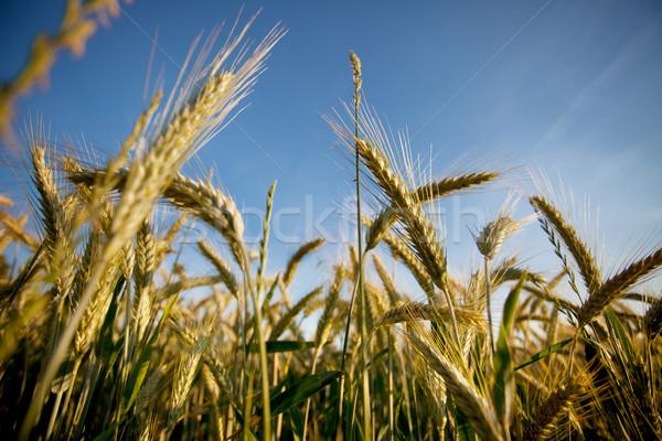 フィールド 小麦 夏 草 フィールド ストックフォト © nailiaschwarz