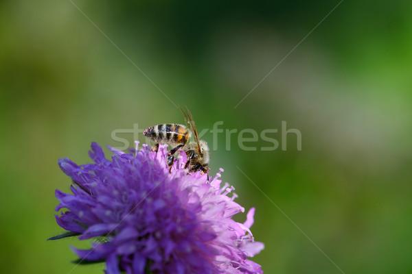 Honingbij alpine weide violet bloem Stockfoto © nailiaschwarz