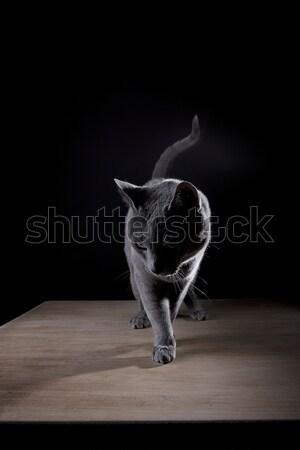 Foto stock: Ruso · azul · estudio · retrato · hermosa · gato