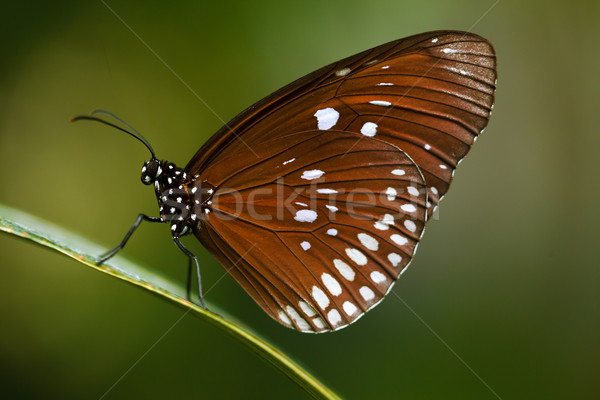 Stock photo: Beautiful brown butterfly