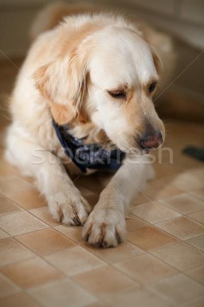 Golden retriever stüdyo portre güzel altın köpek Stok fotoğraf © nailiaschwarz