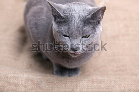 Cat face Stock photo © nailiaschwarz