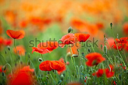 Red Corn Poppy Flowers Stock photo © nailiaschwarz