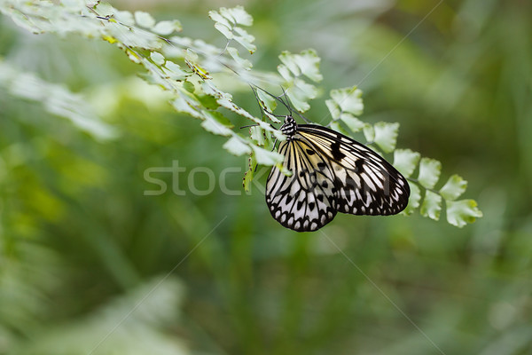 Large Tree Nymph Butterfly on the leaf of a fern Stock photo © nailiaschwarz