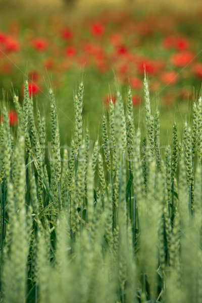 Stock photo: Wheat Field in early Summer