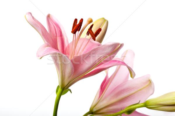 Pembe lilyum yalıtılmış beyaz çiçek Stok fotoğraf © nailiaschwarz