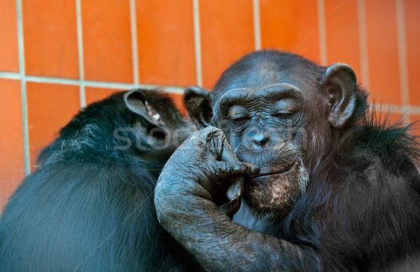 Chimpanzee Stock photo © nailiaschwarz