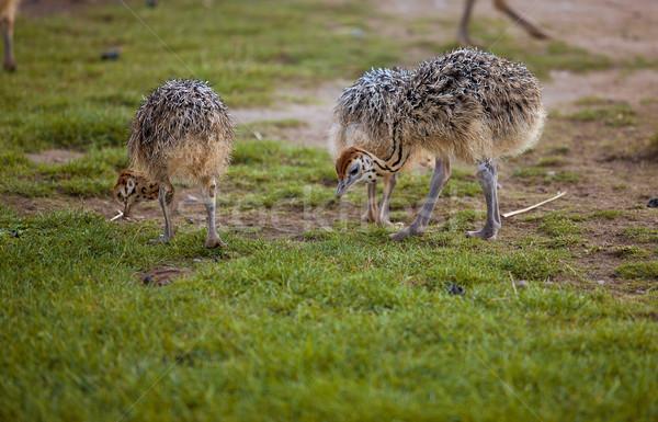 Young Ostriches Stock photo © nailiaschwarz